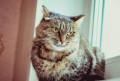 Крупная кошка в нежные руки, Новокузнецк