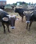 Бычки, телки, нетели, коровы, Хасавюрт