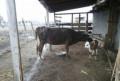 Корова Сеператорная порода, Кизляр