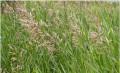 Семена многолетних трав, Чаадаевка