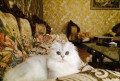 Кот для вязки, Дербент