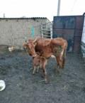 Корова с теленком, Бабаюрт