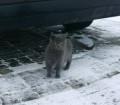Кошка, похожа на шотландку, Гурьевск