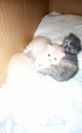 Котенок шотлик, Омск