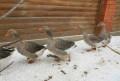 Гуси семья утки семья, Раменское