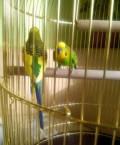 Волнистые попугайчики, Бахчисарай