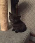 Шотландские котята, Инской