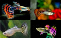 Гуппи рыбки, Мегион