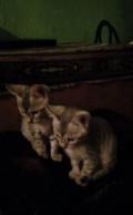 Котята от бенгальской кошки, Моршанск