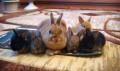 Декоративые карликовые кролики, Белгород
