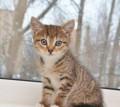Котёнок - девочка 2 мес. в добрые руки, Смоленск