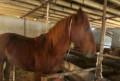 Лошадь, Коркмаскала
