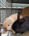 Кролик черный, Рассказово