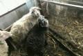 Овцы и ягнята, Отрадная