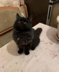 Персидская кошка в добрые руки, Москва