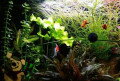Аквариумные растения, Кирсанов
