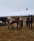 Лошади, Средняя Елюзань