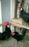 Яйца инкубационные, Армянск