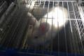 Новозеландские белые кролики, Кирсанов