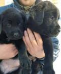 Чёрные щенки Лабрадора, Брянск