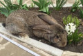 Продажа кролей, Шебекино