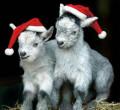 Двойная коза, Константиновск