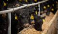 Телята крс бычки и телочки здоровые, привитые, Озинки