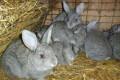 Кролик, Дербент