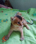 Абиссинские котята, Нижний Новгород