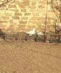 Курицы несушки, Феодосия