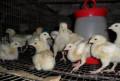 Цыплята бройлеры, индюшата с доставкой, Приволжье
