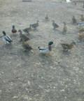 Подсадные утки, Самара