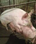 Спермотозоид хряк для свиноматок, Лермонтов