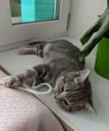 Шотландский котенок, Засечное