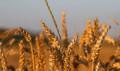 Зерно 1 тонна, Чернолесское