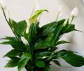Женское счастье и много других цветов, Кормиловка