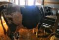 Коровы, Балашов