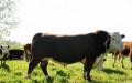 Продаем племенных быков герефордов. Большой выбор, Дмитриевское