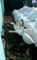 Гуси утки, Козловка