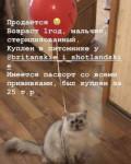 Британский котик, Коркмаскала
