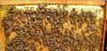 Пчёлы пчелопакеты отводки карника, Мичуринск