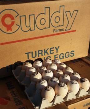 Инкубационное Яйцо Индейки импорт