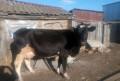Корова, Аткарск