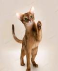 Котята абиссинской породы от SoulAmur, Северодвинск