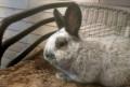Кролики, Кременки