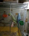Ожереловые попугаи, Гурьевск