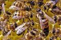 Продаются пчелосемьи, Лиски