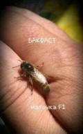 Пчеломатки Бакфаст, Ишим