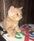 Шотландский мачо, Баранчинский