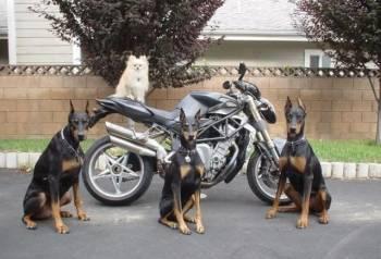 Запись на щенков